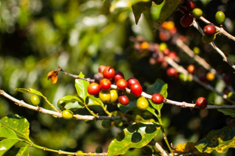 Fruta del café