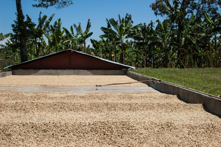 Granos de café secando