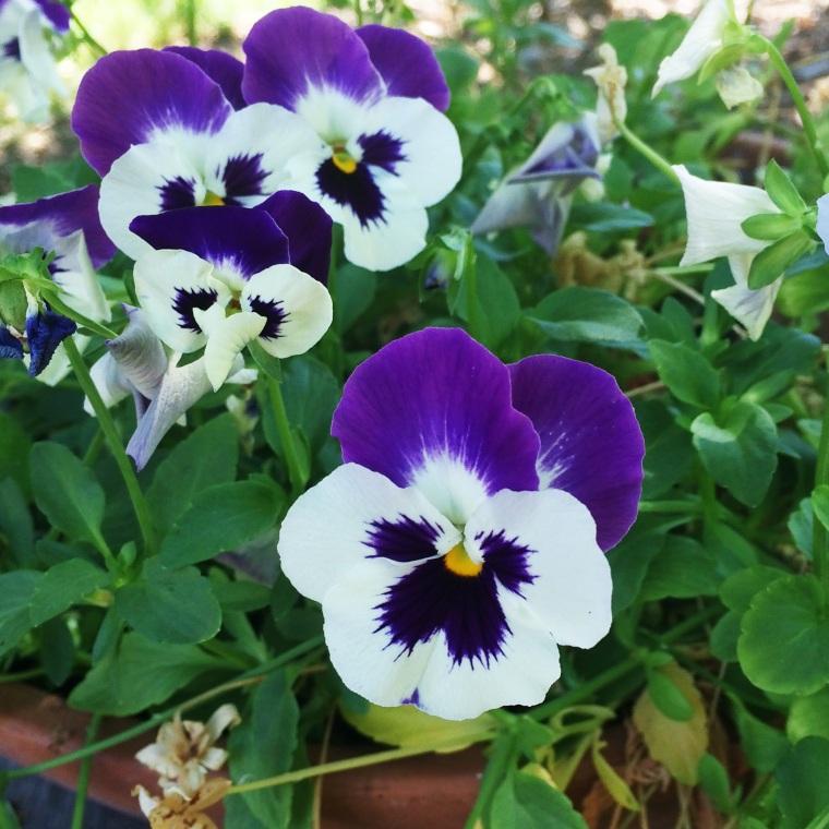 Flor color indigo en California