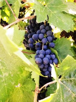 Uvas en viñedo California, Healdsburg. Un tono mucho mas púrpura