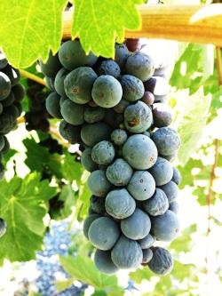 Uvas en viñedo California, Healdsburg. Un tono mas azul