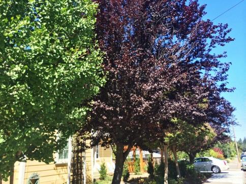 arboles con colores de hojas púrpura 2