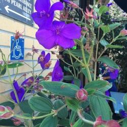 Flor color indigo en Santa Crux California