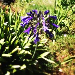 Flor color indigo en California 2