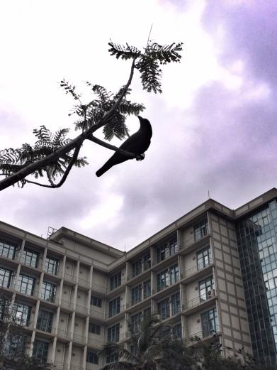 cuervo un dia lluvioso en Colombo