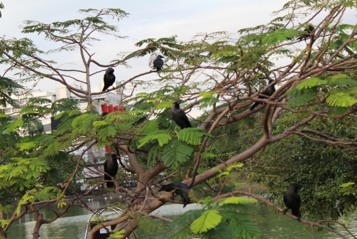 cuantos cuervos cuentan? en Sri Lanka abunda