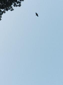 Un Murciélago de la fruta en el cielo