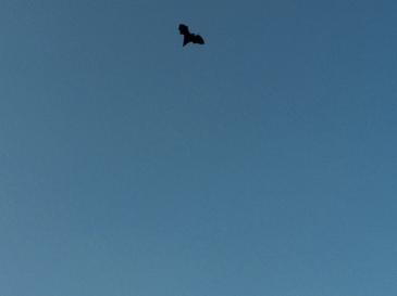 Un Murciélago de la fruta al atardecer