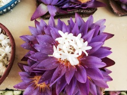 Flor de Loto púrpura