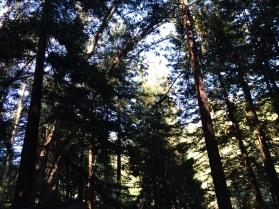 Bosque de Redwoods alrededor de Mystery Spot