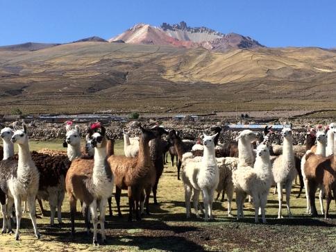 volcan Uyuni Bolivia llamas