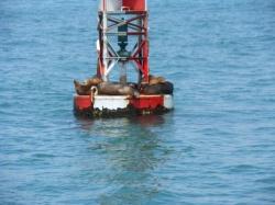 leones marinos en boyas Santa Cruz California