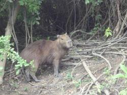 amazonia bolivia capybara