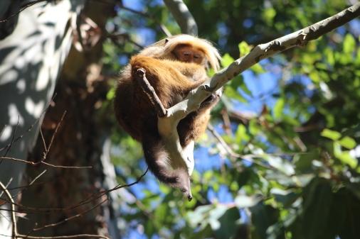 Mono en el descenso de Adams Peak