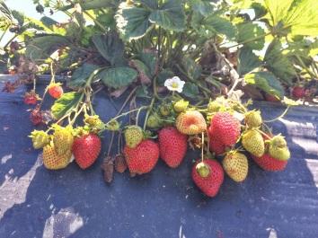 variedad de fresas, verdes, rojas, flores y algunas pasadas.