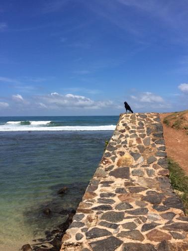 Un tipico cuervo esrilanques en el muro del fuerte
