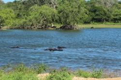 Bufalos de Agua