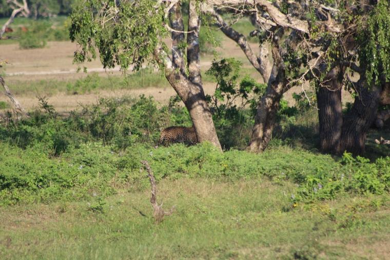 Encuentra al leopardo
