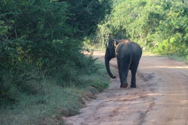 El Elefante macho