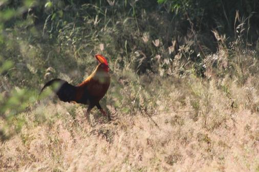 Ave nacional de Sri Lanka gallo de Ceilán o gallo de Lafayette