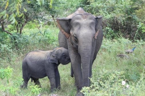 Elefante bebe amantando