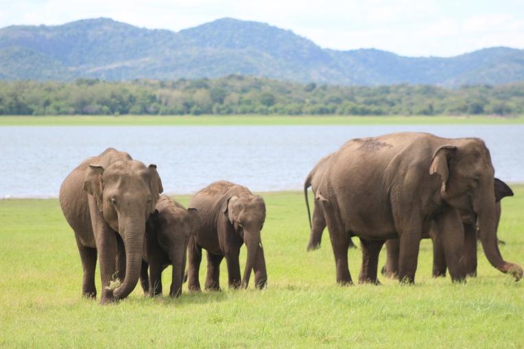 Elefante asiático de Sri Lanka