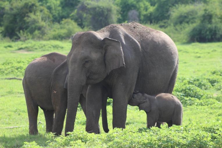 Elefanta amamantando