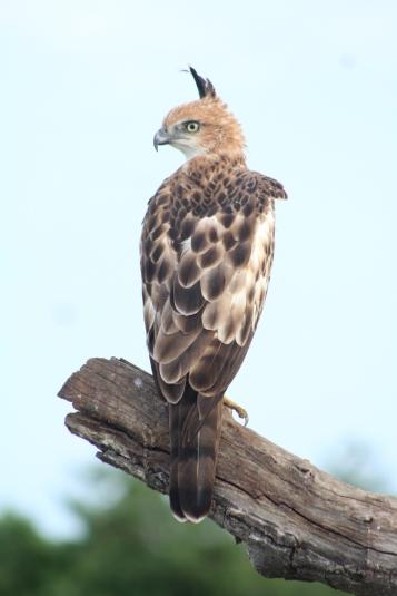 águila-azor variable