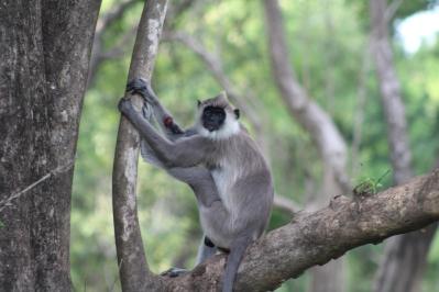 Mono langur gris herido