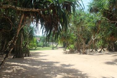 Vegetación Manglar en la playa de Bentota