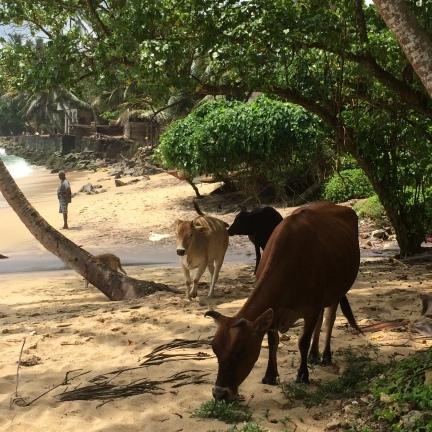 vacas en Mirissa