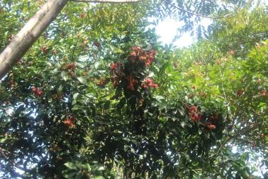 Árbol de Rambután
