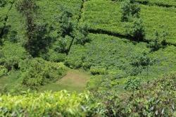 Plantaciones de Té con florecitas violetas