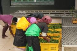 Recolectoras de Té entregando las hojas