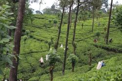 Recolectoras de Té en las plantaciones