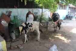 Vacas en India