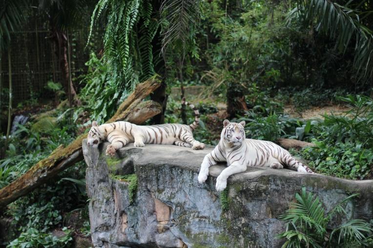 Tigres de Bengala Blanco Zoológico de Singapur