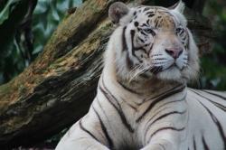 Tigre de Bengala Blanco Zoológio de Singapur