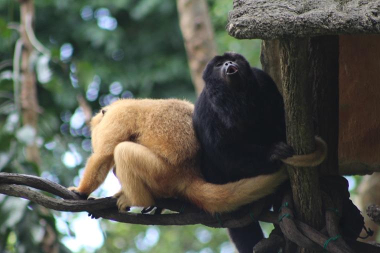 Monos aulladores o carayá o Araguato