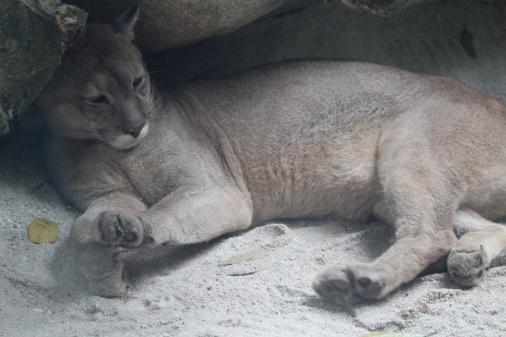 El Puma que estaba tan lejos de casa como yo jaja. Los pumas son oriundos de América
