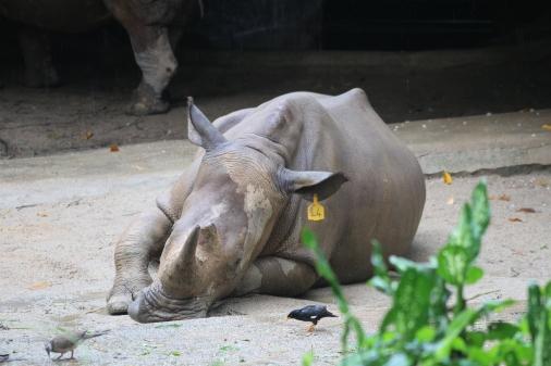 Este Rinoceronte fue el único que lo vi más triste en su cautiverio. Debe saber que su especie está en un lugar muy peligroso, casi en la extinción.
