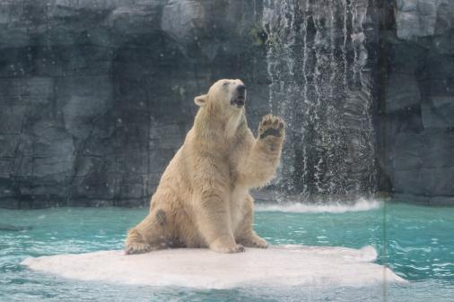Inuka es el nombre del oso polar de Singapur