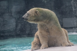 Oso Polar del zoológico de Singapur - Inuka
