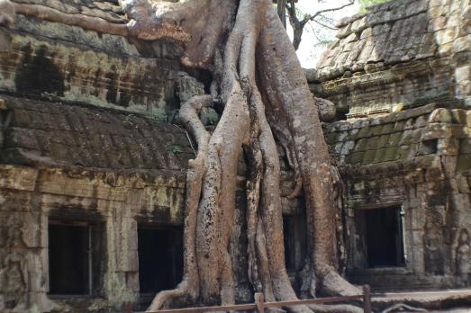 el árbol y Ta Phrom