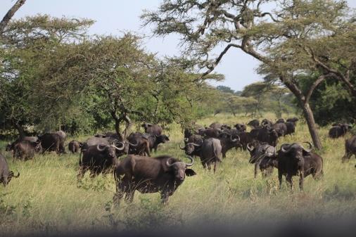 Manada de Búfalos de agua