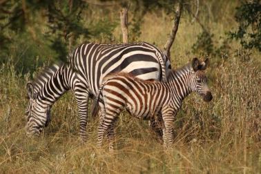 Cebra bebé con rayas marrones