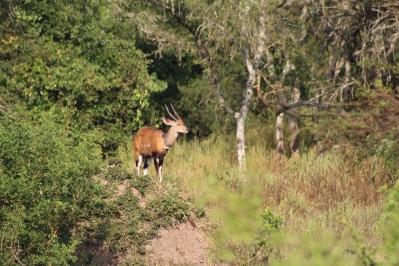 Antílope Jeroglífico o Bosbok sobre un arbusto