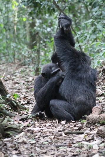 Chimpancés acicalándose