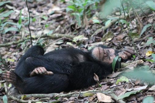 Chimpancé adolescente durmiendo