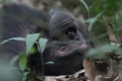 Totti en macho Alfa de uno de los grupos de Chimpancés